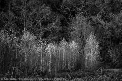 White Birch Black Oak, Biale brzozy czarne deby