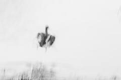 Dzikia kaczka