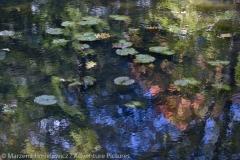 Water Lilies, Nenufary